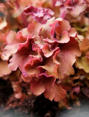 Heuchera Frilly foliage
