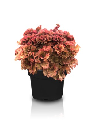 Heuchera Frilly in pot