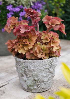 Heuchera Frilly on patio