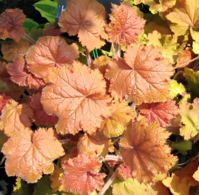 Heuchera Kassandra foliage close-up