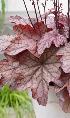 Heuchera Plum Power foliage