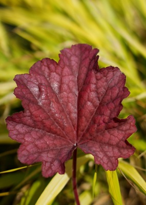 Heuchera Plum Power foliage close-up