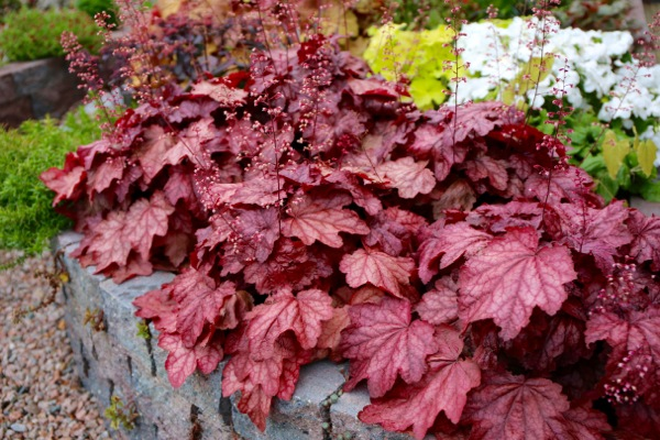 Heuchera Plum Power in garden