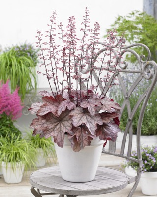Heuchera Plum Power on patio