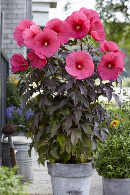 Hibiscus Carousel™ Pink Passion on patio