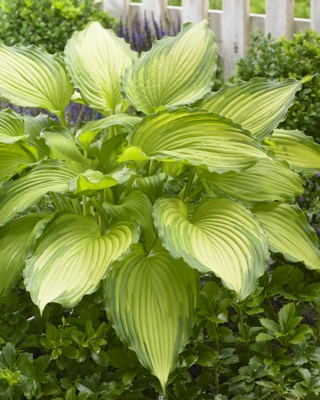 Hosta Dancing Darling in garden