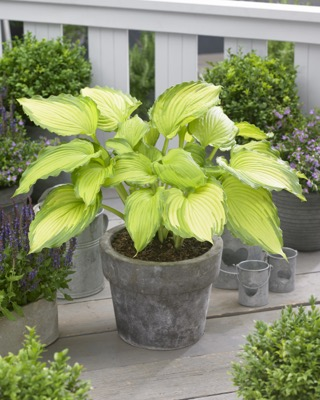 Hosta Dancing Darling on patio