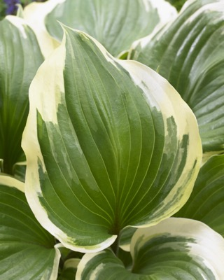 Hosta Proud Treasure foliage close-up