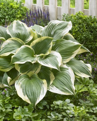 Hosta Proud Treasure in garden