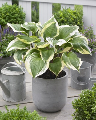 Hosta Proud Treasure on patio