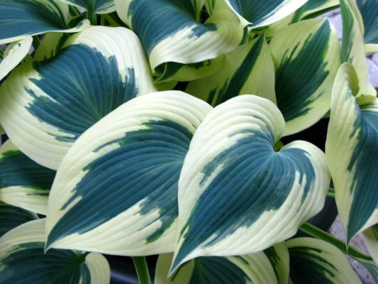 Hosta Blue Ivory flower image