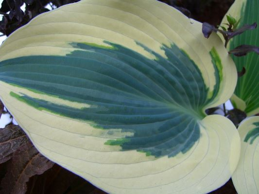 Hosta Blue Ivory foliage
