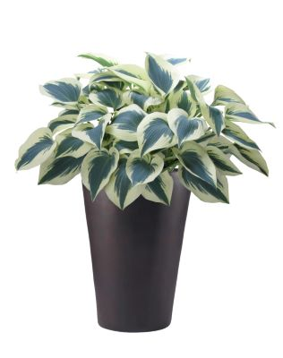 Hosta Blue Ivory in pot