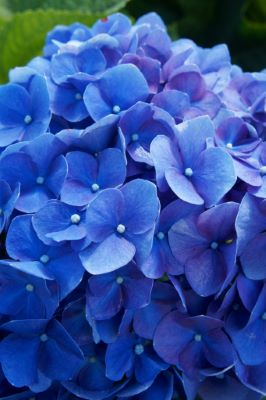 Hydrangea macrophylla  Blue Heaven flower close-up