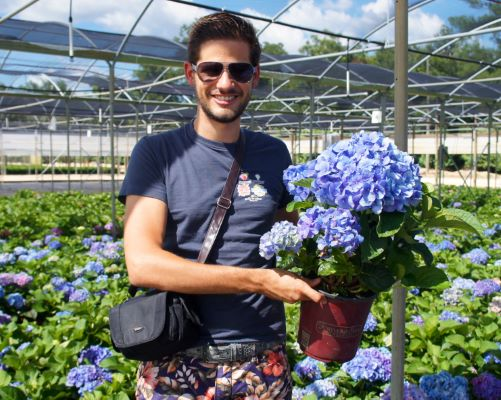 Hydrangea macrophylla  Blue Heaven with nursery