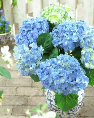 Hydrangea macrophylla  Blue Heaven on patio