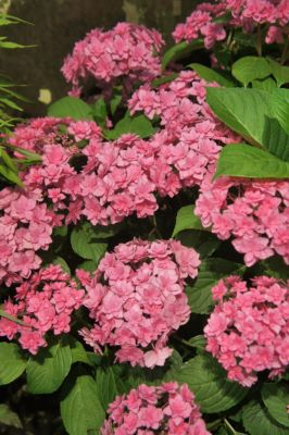 General image of Hydrangea macrophylla Expression