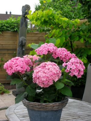 Hydrangea macrophylla Expression on patio