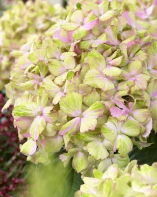 General image of Hydrangea macrophylla Fantasia