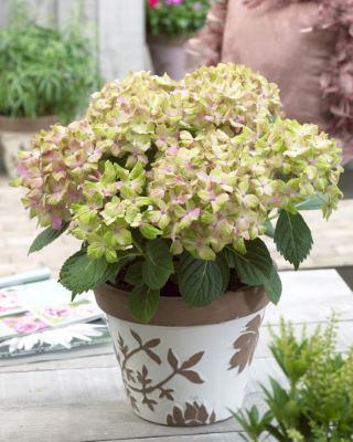 Hydrangea macrophylla Fantasia on patio