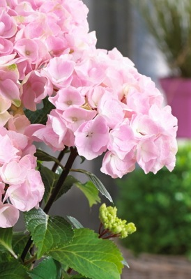 Hydrangea macrophylla  Onyx™ 'Flamingo' flower close-up