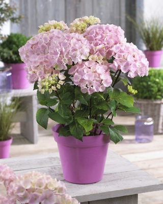 Hydrangea macrophylla  Onyx™ 'Flamingo' in pot