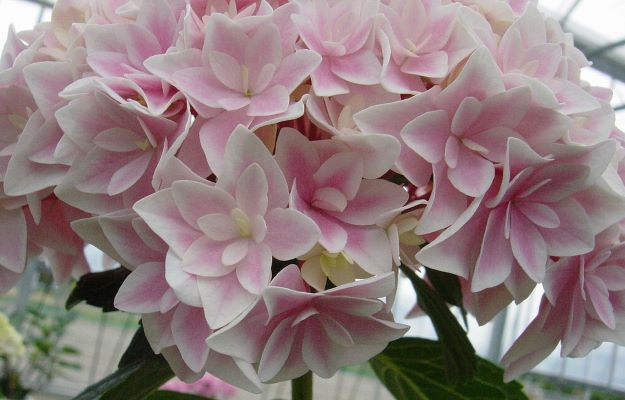 Hydrangea macrophylla Freedom flower close-up