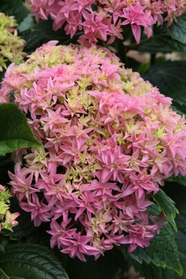 Hydrangea macrophylla Inspire flower close-up