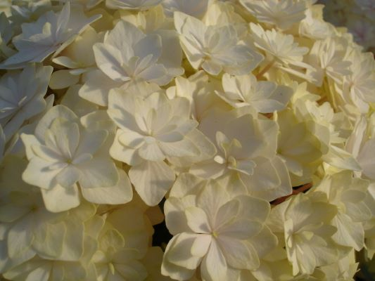 Hydrangea macrophylla Peace flower close-up