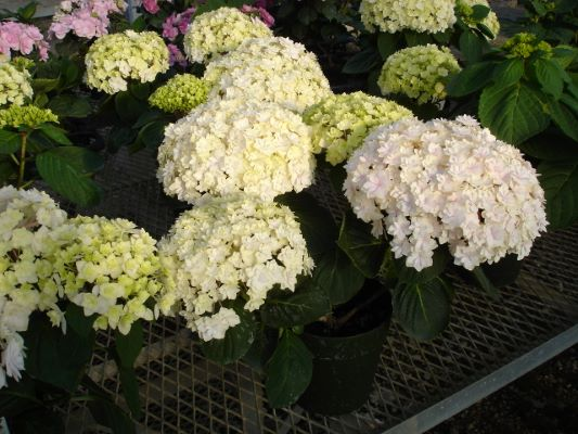 Hydrangea macrophylla Peace with nursery