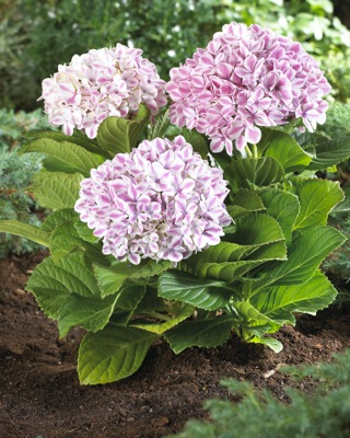 Hydrangea macrophylla Peppermint in garden