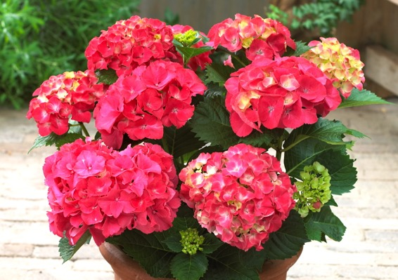 Hydrangea macrophylla Red Sensation  flower image