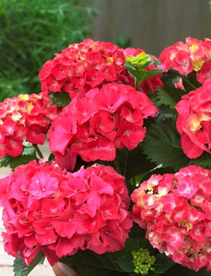 Hydrangea macrophylla Red Sensation  flower close-up