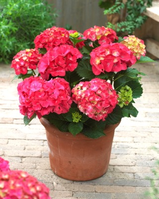 Hydrangea macrophylla Red Sensation  on patio