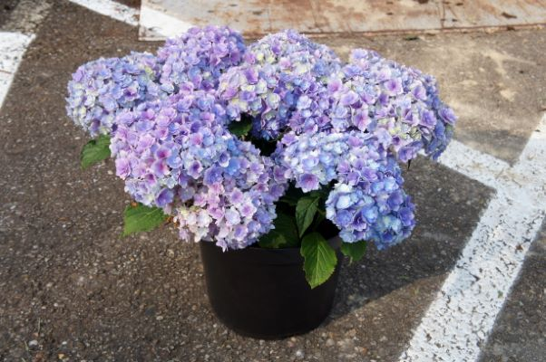 Hydrangea macrophylla Together in pot