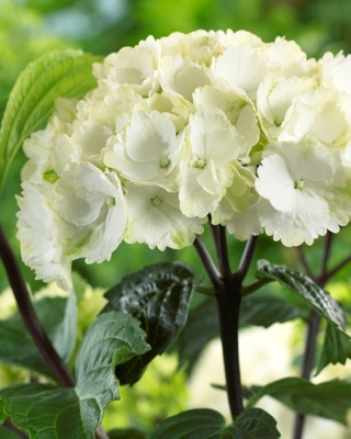 Hydrangea macrophylla Onyx™ 'Zebra' flower close-up