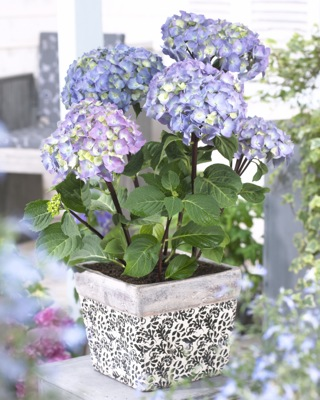 Hydrangea macrophylla Onyx™ Peacock in pot
