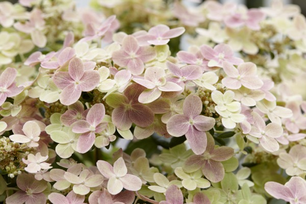 Hydrangea paniculata Early Evolution flower close-up