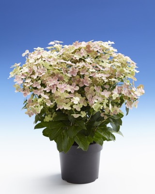 Hydrangea paniculata Early Evolution in pot