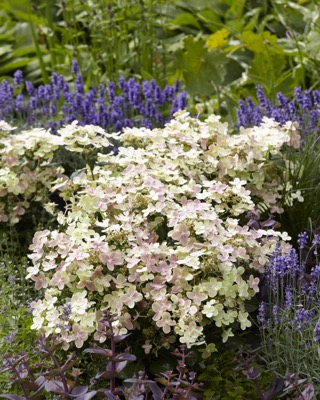 Hydrangea paniculata Early Evolution in garden