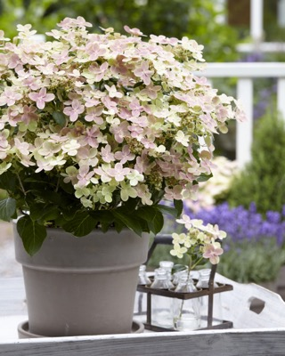Hydrangea paniculata Early Evolution on patio