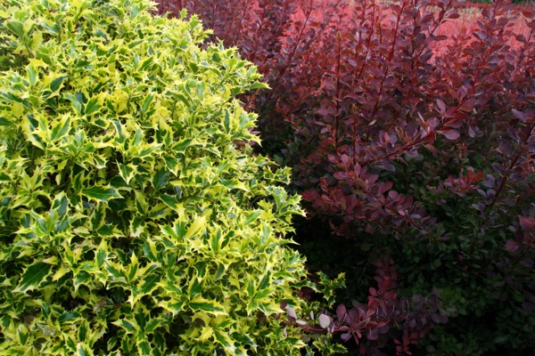 Ilex Golden DJ foliage