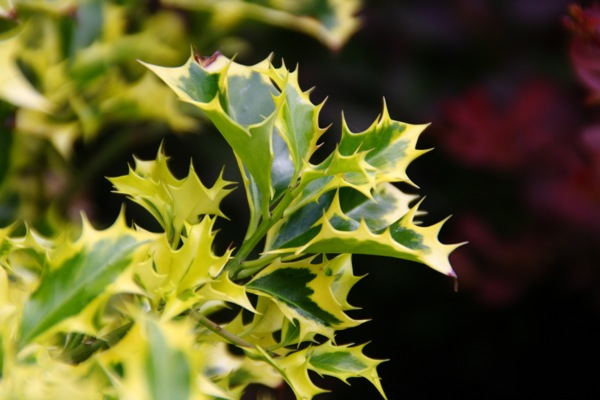 Ilex Golden DJ foliage close-up