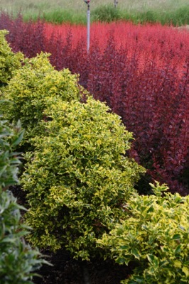 Ilex Golden DJ in garden