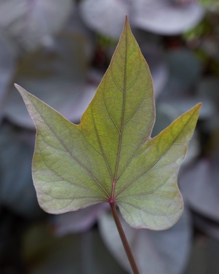 Ipomoea Treasure Island™ Tatakoto foliage close-up