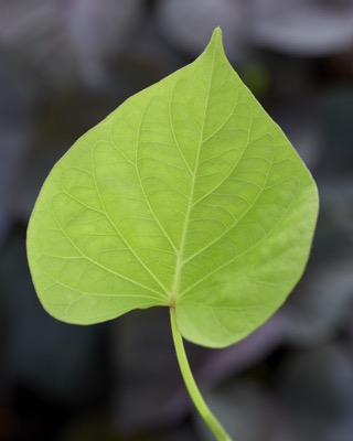 Ipomoea Treasure Island Makatea foliage close-up