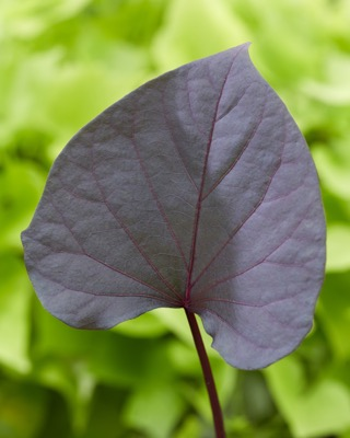 Ipomoea Treasure Island™ Kaukura foliage close-up