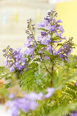 Jacaranda Bonsai Blue flower close-up