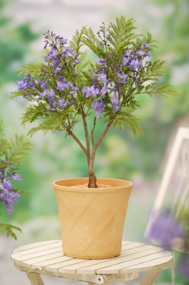 Jacaranda Bonsai Blue in pot