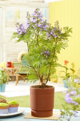 Jacaranda Bonsai Blue on patio